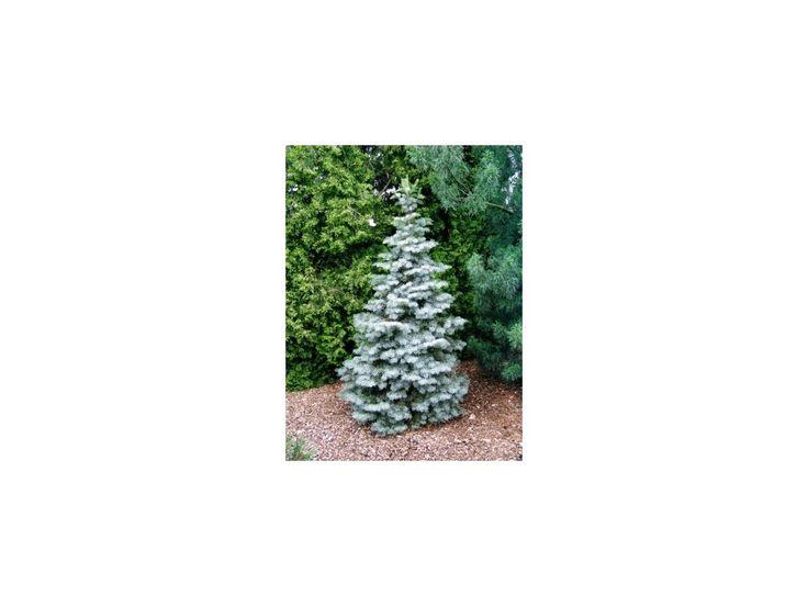 Abies concolor Fastigiata - Jedle vzpřímená. Vzpřímeně rostoucí jedle, dodávána ve výšce 40 - 60 cm.