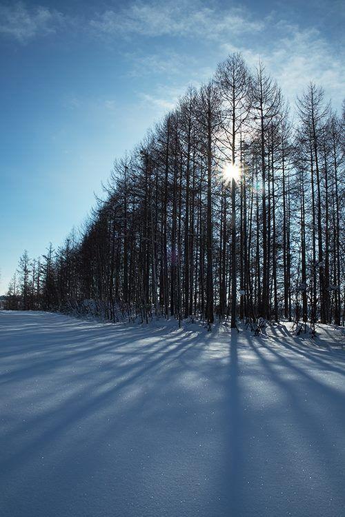 11月20日の誕生日の木は黄葉が美しい「カラマツ(唐松)」です。 マツ科カラマツ属の落葉高木。「唐松」と書きますが日本の固有種です。天然林は宮城県から中部地方にかけて、主に本州中央部の南・北アルプス、富士山、八ヶ岳、奥日光などの高標高地に分布します。 名前の由来は、唐絵(中国の絵画)のマツに似ていることに由来しています。日本の針葉樹の中で唯一の落葉樹であることから「ラクヨウショウ(落葉松)」という別名を持ちます。また生息地から、フジマツ、ニッコウマツ、シンシュウカラマツ、ニホンカラマツと呼ばれることもあります。