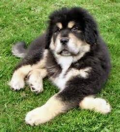Similar Galleries Tibetan Mastiff Puppy Tibetan Mastiff Attack