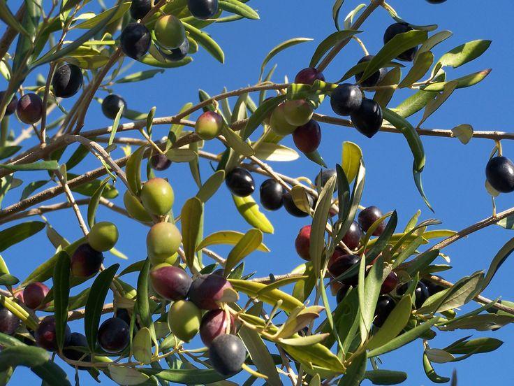 Olives Oliviere