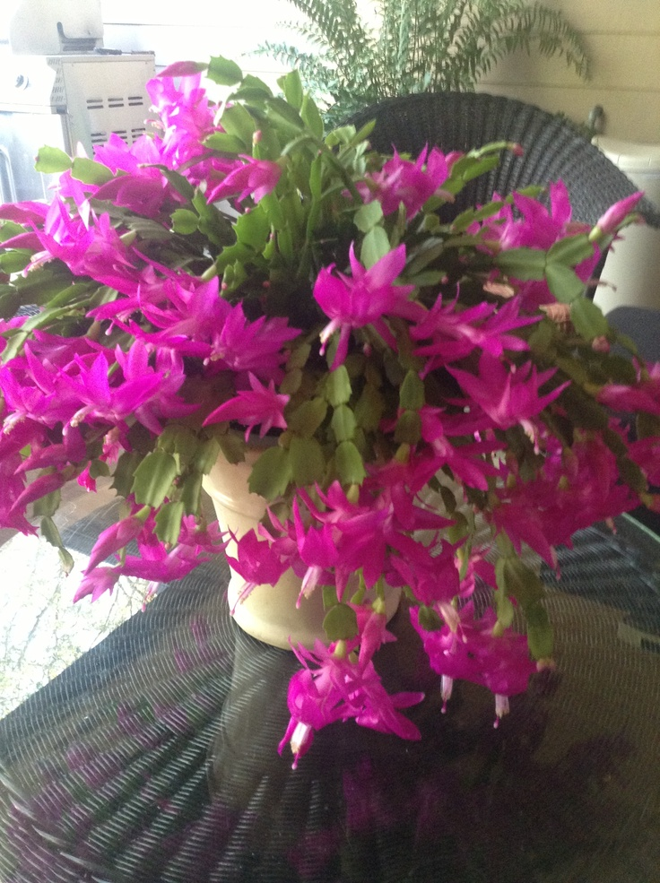 My Christmas cactus still blooming beautiful