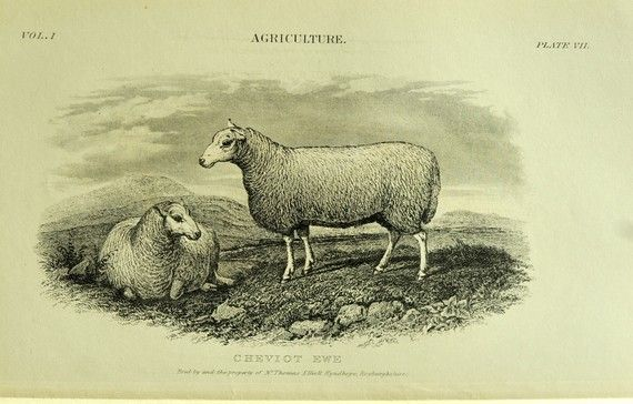 antique sheep print