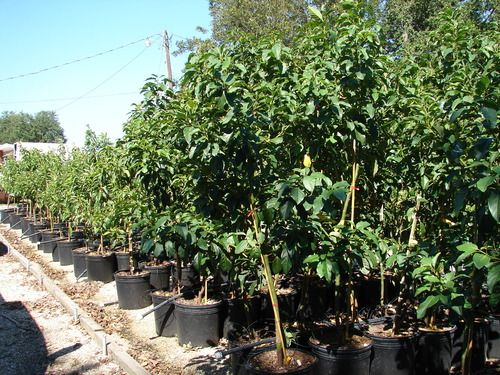 27 best images about avocado trees on pinterest crafting plants and trees. Black Bedroom Furniture Sets. Home Design Ideas