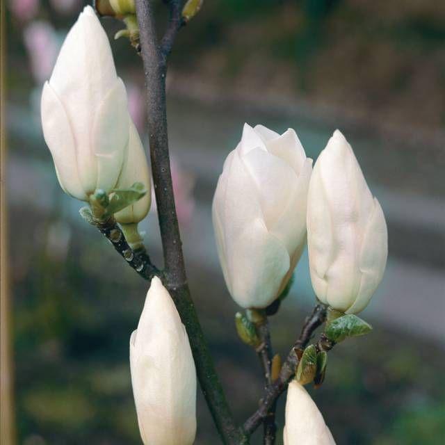 Tulpen-Magnolie 'Alba Superba' - garten-schlueter-de