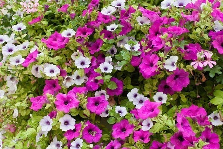 How To Deadhead Petunias The Ultimate Guide 2020 Update In 2020 Petunias Petunia Plant Container Flowers