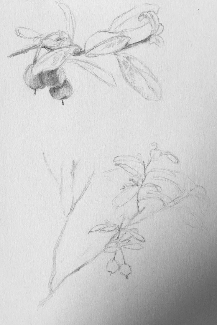 Sketches from my own photographs of Vaccinium uliginosum, to help plan my painting. Anni Vilna