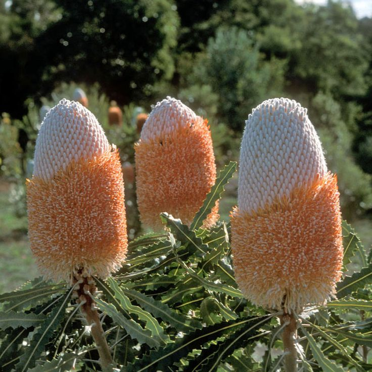 BANKSIA prionotes. Indigenous to Western Australia the Acorn Banksia is a common and widespread species, generally reaching around 4 metres in cultivation .The leaves are linear, and have deeply serrated margins. The cylindrical flower spikes are conspicuous as they occur at the end of the branches and have a distinct acorn shape. The flowers open orange in colour usually during autumn and winter. An outstanding ornamental species and ideal for cut flower production.
