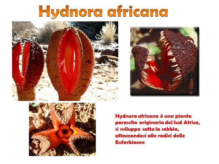HYDNORA AFRICANA… una delle piante più brutte?