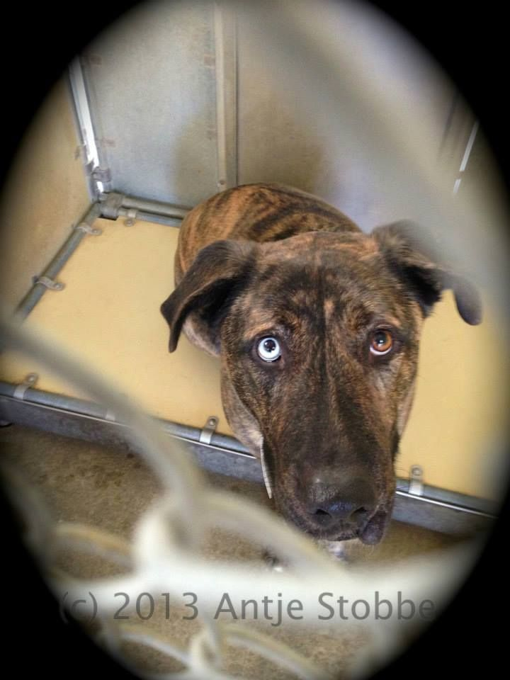 """SUPER URGENT - Lancaster, CA - A4408284, this is """"Bear"""", a almost 2 y/o neutered Anatolian Shep/Mix who was adopted her as a CUTE LITTLE PUPPY in May 2012 only to be RE-DUMPED as an adult... Available NOW, Bear is sweet, stunning!! Please call the shelter at 661.940.4191 RIGHT AWAY if you are interested in adopting any of the Dogs https://www.facebook.com/photo.php?fbid=10152101613477318&set=a.10152160720807318.1073741892.733107317&type=3&theater"""