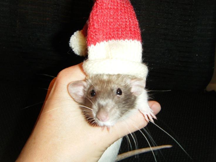 Stella baby dumbo rat xmas rat love pinterest