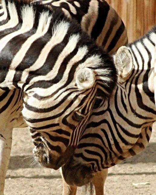 Plains Zebra -  eye 2 eye -  The Fresno Chaffee Zoo -  Pix.by.PegiSue   /www.flickr.com/photos/pix-by-pegisue/