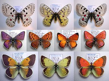 nine Central Asian butterfly species