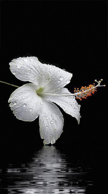 Hibisco branco.