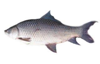 Ikan Rohu,resep umpan,Teknik Mancing,umpan ikan ara,umpan rohu,umpan rohu best,umpan rohu danau pinggiran,umpan rohu kolam bayar,umpan rohu liar,umpan rohu minyak tebu,umpan rohu paling power,