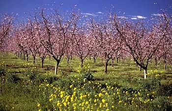Agriculture, Sacramento - San Joaquin Valley - Peach Orchard With Mustard, Springtime - Yuba County - Stock Photography and Images from Tom Myers Photography - Sacramento, California