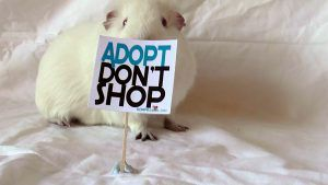 Guinea pigs for sale! - Guinea pigs Forever
