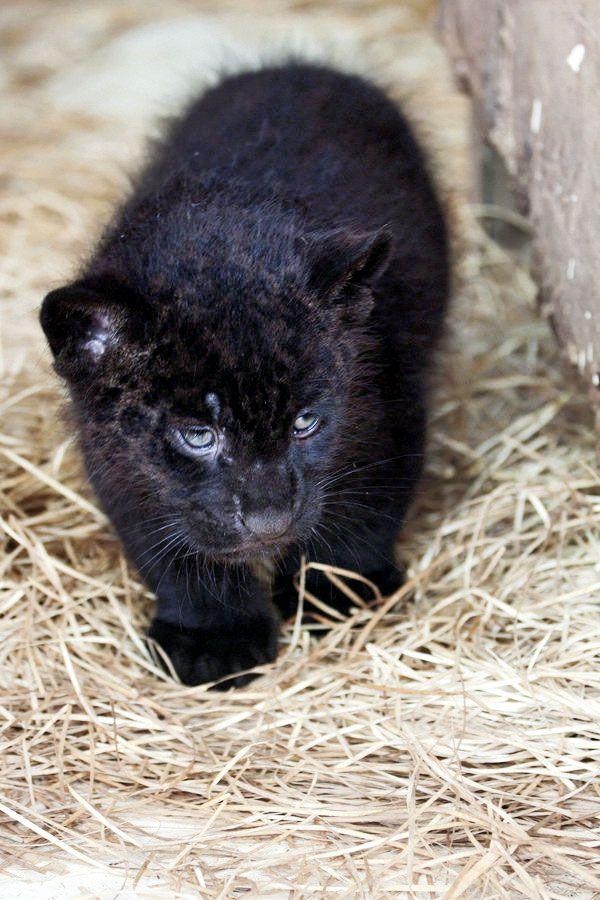 Newborn Jaguar Cubs - photo#10