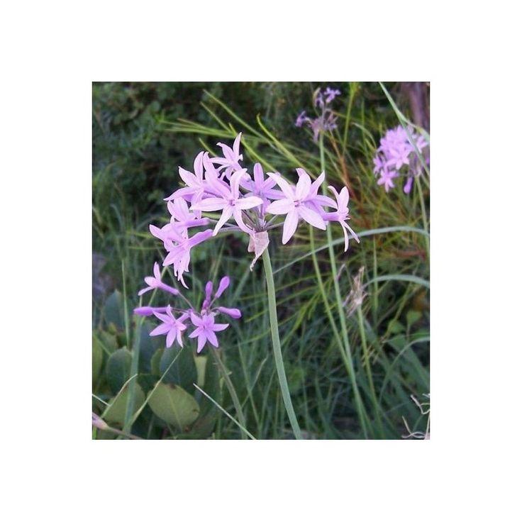 Cesnaková tráva-Tulbaghia violacea-semená cesnakové trávy-5 ks