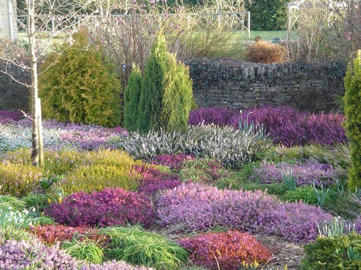 heather in garden. wrzosy