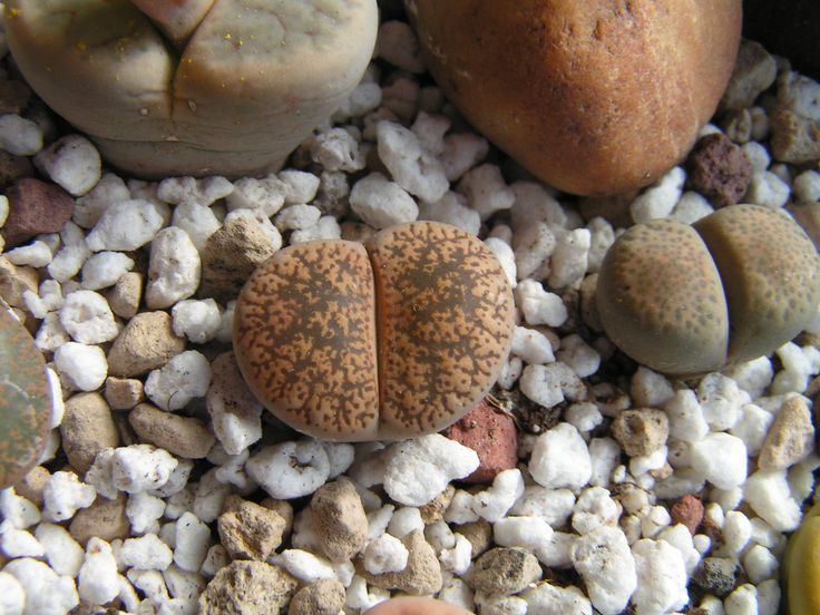 Lithops lesliei ssp. lesliei v. venteri maraisii C153