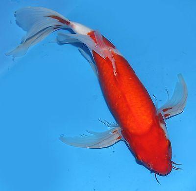 Live koi fish 15 16 red kohaku butterfly koibay for Baby butterfly koi