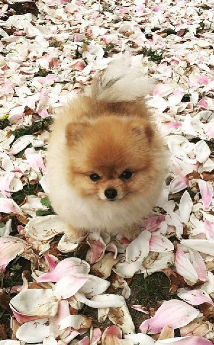 ♡ Es regnet Magnolien-Blütenblätter und ich kleiner Wauzi mittendrin. Oh wie das duftet!!! ♡