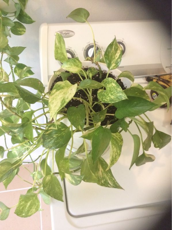 pothos epipremnum aureum this is a pothos among the easiest of house plants able to survive with little light and care vines can reach 30 ft