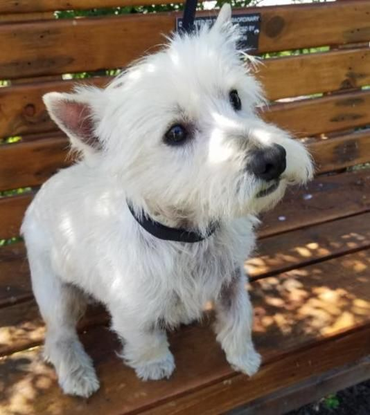 West Highland White Terrier Terrier Dog For Adoption In