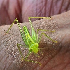 Australian Wildlife - Young fluero green Grasshopper.