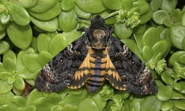 Death's-head Hawk moth ☆