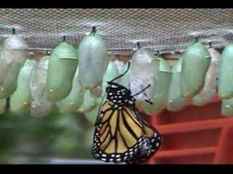 Time-lapse 2 of Monarch Butterfly being born