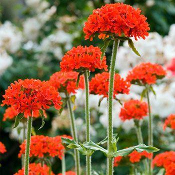 Maltese Cross Plants, Garden plants, Maltese cross