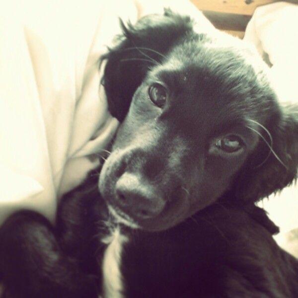 Sprocker puppy olive 5 months