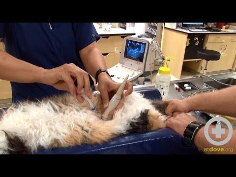 Sarah Harris, CVT, demonstrates the proper technique for performing an ultrasound guided cystocentesis. #vettech #veterinary #ultrasound #cat #howto