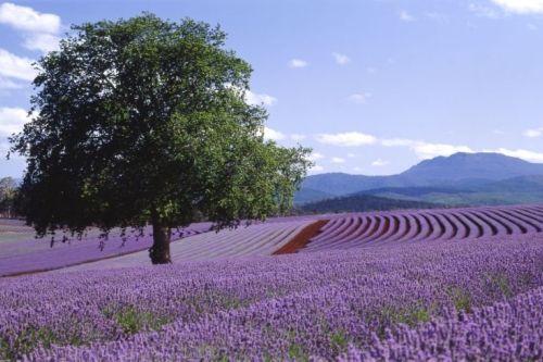 Bridestowe Lavender Estate, Tasmania