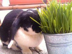 Herbe à chat- Liste des légumes bons ou pas pour les lapins - Marguerite et Cie