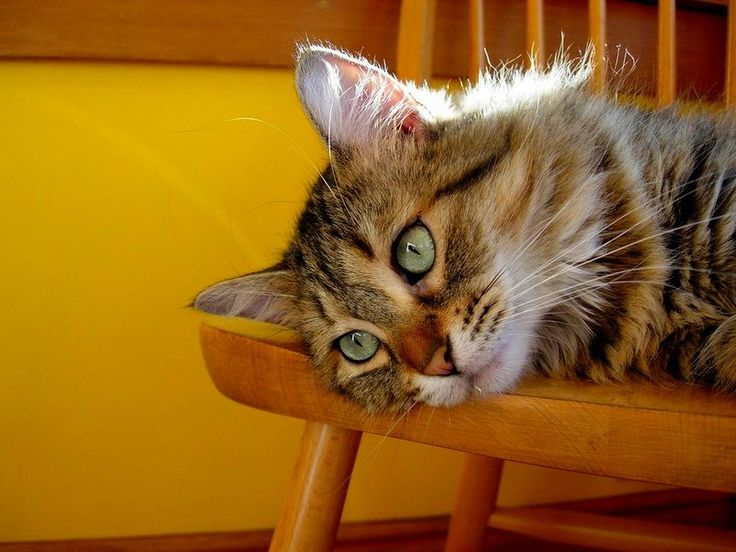 Пикси-боб (фото): короткохвостый кошачий эльф Смотри больше http://kot-pes.com/piksi-bob-foto-korotkoxvostyj-koshachij-elf/