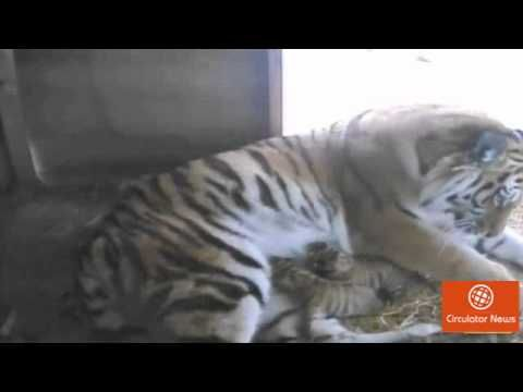 [Latest news] Breaking News Updates: Cute tiger cubs born at Yorkshire W...