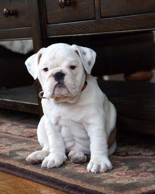 Baby bulldog, be mine.