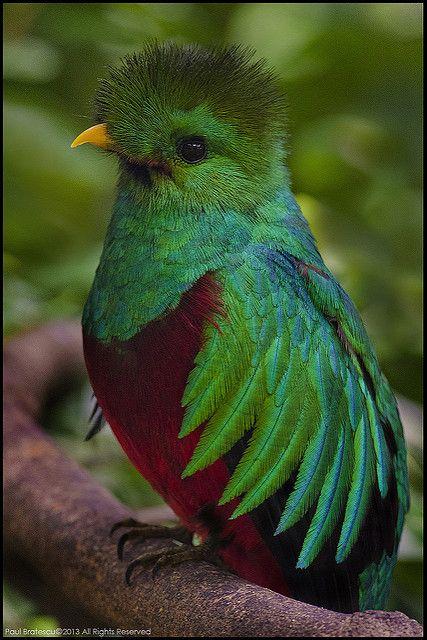 Resplendent Quetzal (Pharomachrus mocinno), Panama. | Flickr