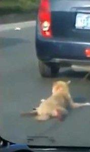 Cina-Un cane viene trascinato da un auto con macchie di sangue dappertutto lungo la strada, era il 21 Settembre, gli altri automobilisti non intervengono. Siamo a Guangdong Shantou, e i proprietari di auto private e non, moto, etc, non fanno nulla. Ad un certo punto si nota il povero cane alzare la testa, ma niente, […]