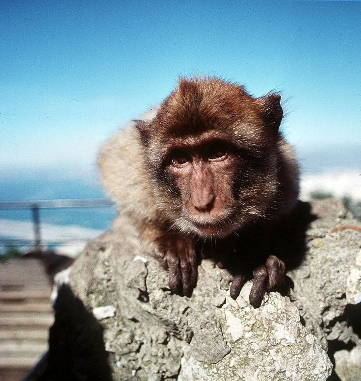 **FILE** A Barbary ape perches upon a rock on the Rock of Gibraltar in Gibraltar, in this February 2000 file photo. A renegade group of Gibraltar's Barbary apes, the only non-human primates to live in the wild in Europe, has annoyed locals so much that authorities have decided a cull is inevitable. A cluster of 25, out of a population of around 200, moved to a popular beach-side area some months ago and picked up habits such as stealing food, entering rooms through open windows and…