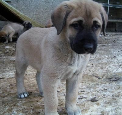 Anatolian shepherd puppy...I wish I'd gotten to see Tia when she looked like this. :-)