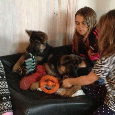 Skønne velsocialiserede schæferhvalpe - Potepladsen - Køb & salg af kæledyr