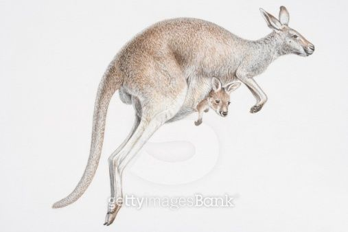 Illustration, skipping female Kangaroo (Macropus sp.) with baby peeking out of its pouch, side view.