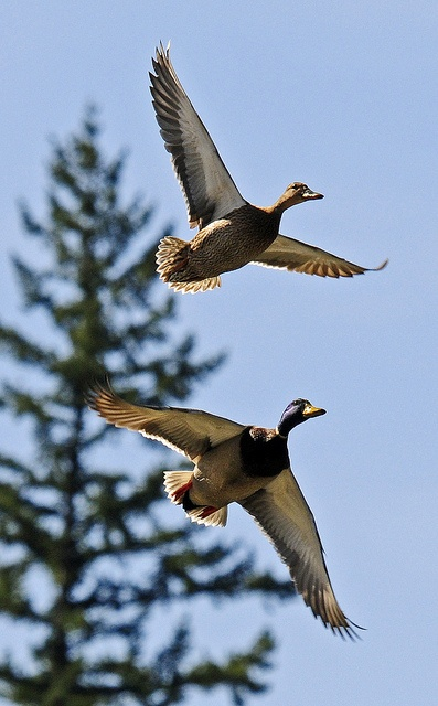 "Mallard's in flight... ""Mated pairs"" MIGRATE TO and BREED IN the northern parts of their range and build nests on the ground or in a protected cavity... http://animals.nationalgeographic.com/animals/birds/mallard-duck/"