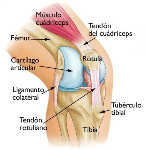 Adelgazamiento del cartilago articular parelar articular