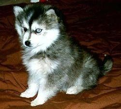 Pomskies are a Pomeranian Siberian Husky mix.  Right now, they're only available in Canada, and are the size of a Pomeranian.  Too cute, but another example of mixing breeds and then charging ridiculous prices.