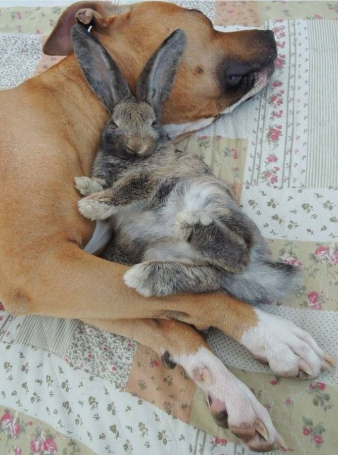 a picture of pretty dog and rabbit sleeping together