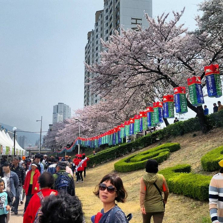 #cherryblossom season is almost at its end here in #busan. It was amazing to get to walk though the #falling #petals  #sakura #korea #springishere #sofreakingpretty
